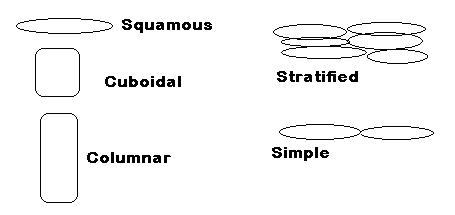 how does it differ structurally from other stratified squamous epithelium